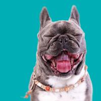 Sancho, Französiche Bulldogge